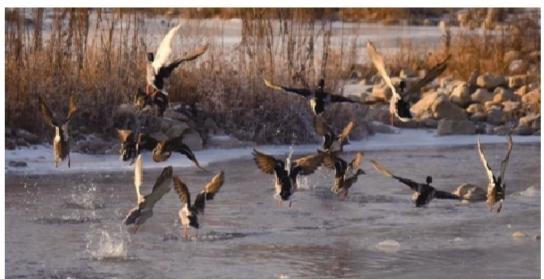 本溪野生动物保护部门介绍,近年来太子河水域输水量增多,环保也在